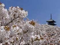 世界遺産の仁和寺と桜風景です。