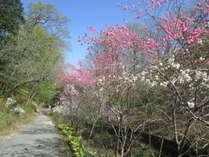 。+日本三大桜の一つ『山高神代桜』と『桜並木』を見に行こう+。嬉しい特典付きお花見プラン■1泊2食付