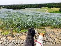 国営ひたち海浜公園はワンちゃんとは入れます。1年中四季の花が咲く広大な公園です。