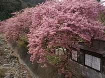 渓流沿いの露天風呂は2月河津桜でピンクに染まります。
