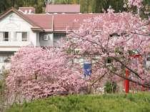 【河津桜シーズン】当館の2月~3月。敷地に約100本の河津桜が咲き誇ります。