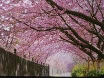 河津桜のトンネルをくぐると幸せが