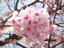 """伊豆高原に咲く早咲の""""おおかん桜""""3月14日現在満開です。"""