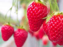 【イチゴ狩り】当館から車で10分♪甘~い苺を1時間食べ放題<2~3月限定>