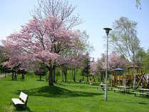 日勝峠の麓の町、清水町【清水公園】の桜。家族憩いの公園の桜は丘に植えられ立体感抜群!