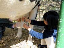 始めての乳搾り体験 大人しい牛さんだから安心です