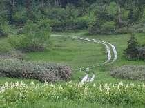 栂池自然園 ワタスゲ湿原