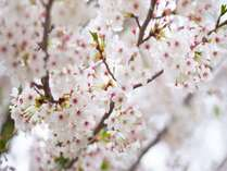 春到来!!お花見スポット!ピセからも車でアクセスできる高山村の桜。
