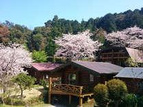 3月後半からはソメイヨシノが咲き始めます。