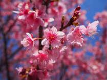 【3/25~4/9限定】さくらまつり×伊勢海老プラン☆お花見のあとは豪華伊勢海老を食べ尽せ♪