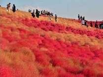 国営ひたち海浜公園みはらしの丘を真っ赤に染め上げるコキア(見頃は10月上旬~中旬)