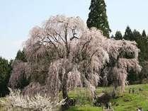 水中のしだれ桜。迫力がある樹です。空からピンクの小花が降り注いできます。