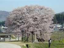 黒部のエドヒガン桜。ピンクの色が濃く、きれいです。農村の風景とのコラボがグー