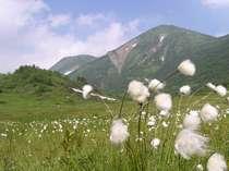 ワタスゲが咲く標高2100m・天狗の庭湿原から見る火打山