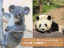 【王子動物園】パンダとコアラのどちらも見られるのは、日本でここだけ!!かわいらしい姿に癒されます。