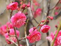 【筑波山梅まつりプラン】会場までの送迎無料サービス付♪梅の甘い香りで春気分♪
