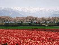 【桜2016】桜とチューリップと立山連峰のコントラストに感動♪春の宇奈月おすすめ2食付プラン!特典付き♪