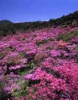 雲仙の春の風物詩『ミヤマキリシマ』は毎年5月に見ごろを迎える