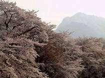桜と甲斐駒ヶ岳
