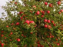 【りんご収穫体験】食べごろに育ったりんごのもぎとり体験♪