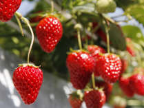 ◆いちご狩り(1月~4月)◆ジューシーで甘いイチゴが食べ放題♪ビタミンもたっぷり♪