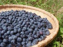 ≪ブルーベリー狩りプラン≫無農薬栽培だから摘み取ってそのまま食べられる