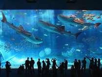 【沖縄美ら海水族館】徒歩約5分/黒潮の海(大水槽)2