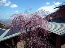 ■ロビーより【春】■しだれ桜