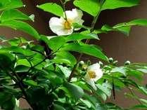■ロビーより【夏】■横の坪庭に咲く沙羅双樹(6月)