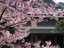 当館玄関の河津桜