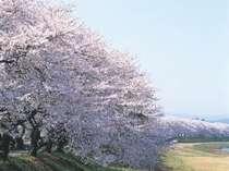日本のさくらの名所百選、足羽川の2キロに及ぶ桜並木 当館より歩いて5分!