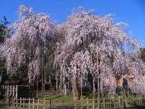 足羽神社の樹齢360年の枝垂れ桜です。開花期間中は夜桜を楽しむライトアップもあります。