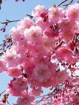 春爛漫♪美しい桜の季節