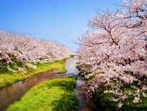 【春】玉造温泉の桜並木はおよそ2km!春の散策が楽しめます★