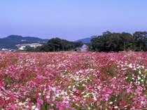 【リフレッシュパーク豊浦】下関の花公園。花いっぱいの公園で、コスモス祭りは大人気です(車で40分)