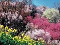 福島市の「花見山」。桜のシーズンは特に綺麗。ホテルから車で15分。