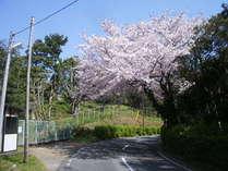 九十浜までの道の桜!キレイです♪