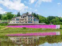 *芝桜/4月下旬~5月中旬までが見ごろ。当館目の前が華やかに彩られます。