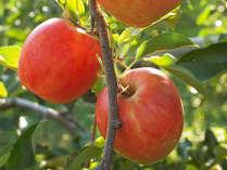 フレッシュ♪あま~いリンゴが食べ放題!!神鍋高原『りんご狩り』プラン
