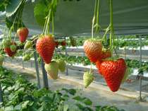 4種類の甘~いイチゴが食べ放題!いちご狩りプラン