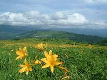 7月のニッコウキスゲは黄色い絨毯のよう
