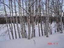 お部屋の窓からの風景、白樺が北国らしさを演出!