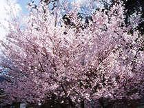 日本の春と言えば『サクラ』岡山の桜でほっこり◎なひと時をお過し下さいませ。
