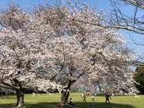 【3月4月おすすめ】大房岬は桜の名所としても知られており、ホテルから散策しながらお花見ができます。