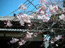 【春だ!お花見だ!】桜を見るなら南国高知へ★2食付