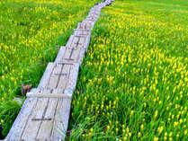 ■【尾瀬】キンコウカやニッコウキスゲなど美しい花々が見られます。