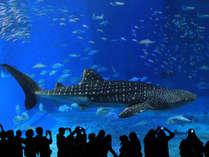 【美ら海水族館】黒潮水槽 迫力のジンベイザメ