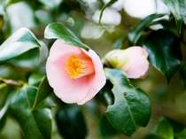 【笠山】椿群生林では、約25,000本のヤブ椿が可憐な花を咲かせる