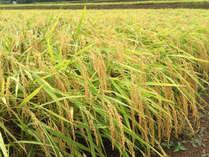 実りの秋!!もちろんお米は魚沼産コシヒカリです。