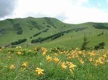 霧が峰のニッコウキスゲ・季節によりお花の種類が変わります